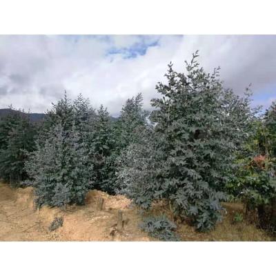 Zayat Aroma - Huile Essentielle - Eucalyptus Globulus - 11mL
