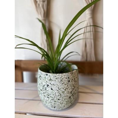 Plantes - Chlorophytum 6 pouces - Pot blanc avec tache verte