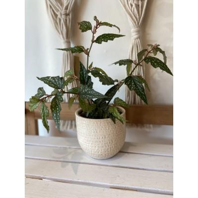 Plantes - Bégonia Angel Wing 5 pouces - Pot beige